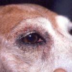 Дерматит у собак: причины и лечение